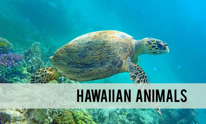 Hawaiian animals