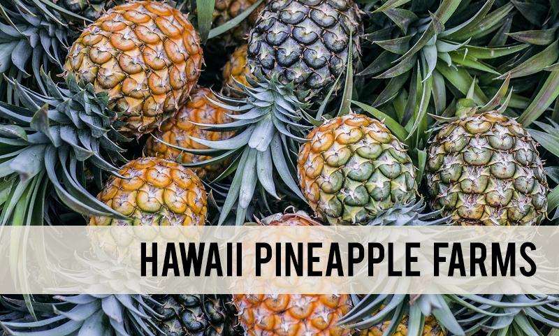 Pineapple farms in Hawaii