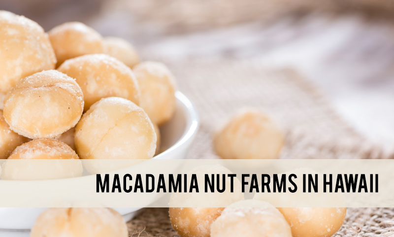 macadamia nut farms in Hawaii